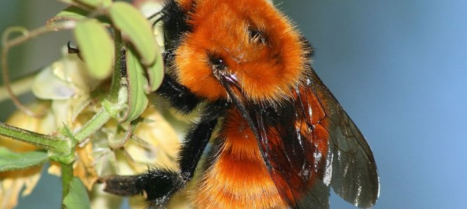 Patagonia may lose its only native bumblebee due to invasions by alien bees species