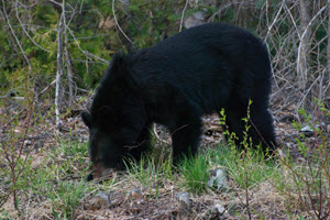 Wildlife at Lake - Bear Visiting Camp Lochalsh
