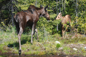Wildlife at Lake - Moose and Calf