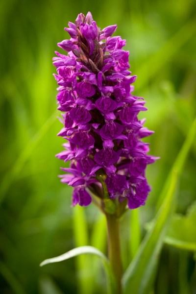Northen Marsh Orchid
