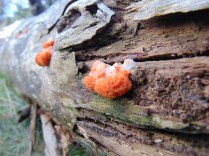 Orange Brain Fungus?