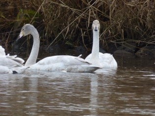 juvenile Whoopers