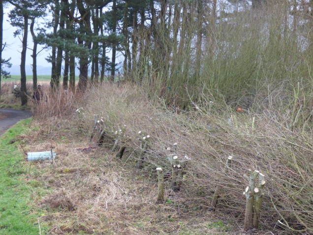 Brash hedge and willow stumps