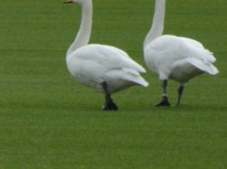 Ringed Whoopers