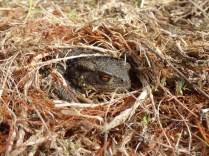 Grumpy Common Toad