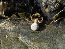Xysticus species