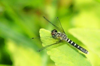 Elfin Skimmer female