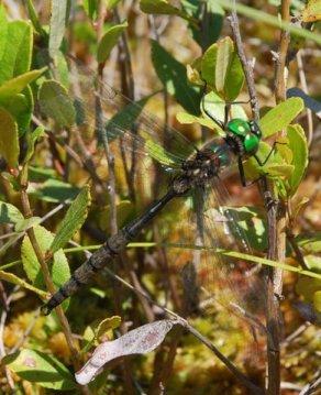 Incurvate Emerald male