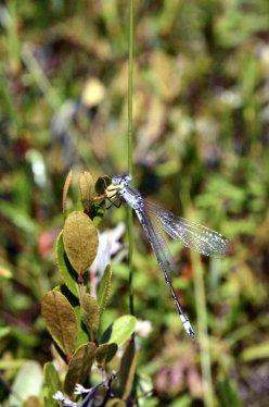 lyre-tipped-spreadwing