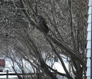A barred own is camouflaged in the tree outside the Lodge kitchen