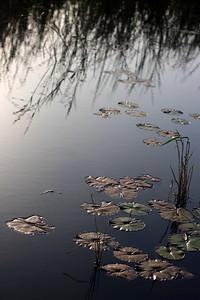 Lotus at YBP