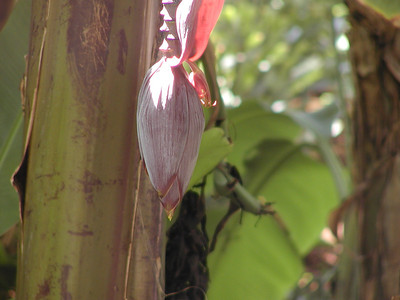 Flower on a banana plant