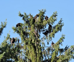 Dozens of turkey vultures roost in the pines surrounding the campground.