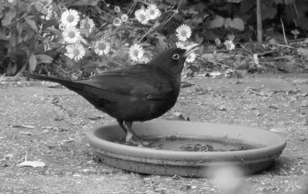 blackbird drinking © Lodewijk Muns 2018