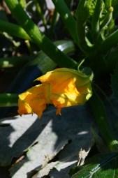 Zucchinibluete