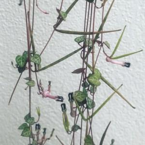 ceropegia woodii oeil vegetal lyon
