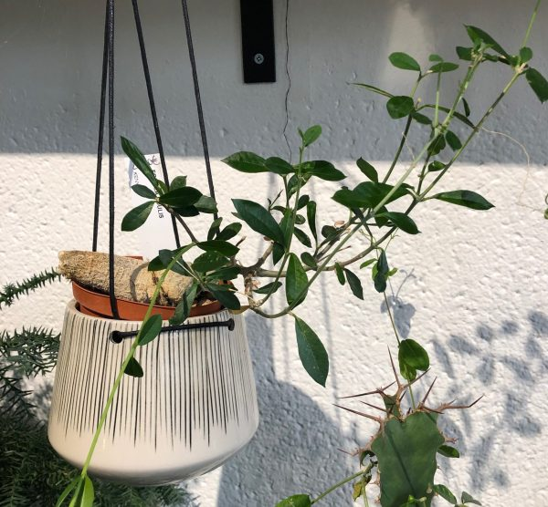 fockea edulis oeil vegetal lyon