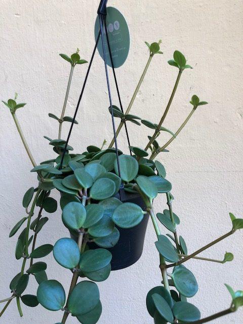 peperomia hope oeil vegetal lyon