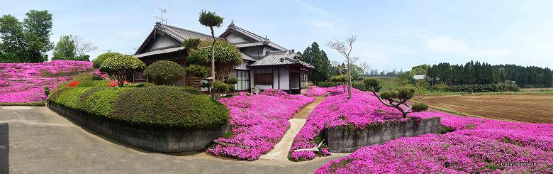 ■ 新富町・黒木さん宅のシバザクラ パノラマ写真 02
