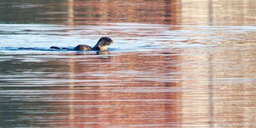 Otters In The Cotswolds