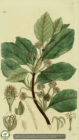 Beech-Leaves-Illustrations
