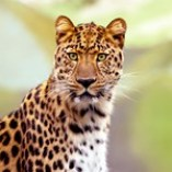 Leopard Photograph Tshirts, tees, Cards, Trays, Buttons, Stickers, Magnets, and more!
