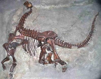 Camarasaurus_lentus_Carnegie.wikipedia