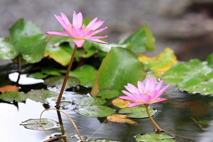 lotus-rain-summer