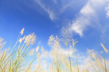 blue sky and chinese silvergrass in autumn