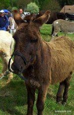 foire aux ânes Poulaines Indre avec LoireXplorer ane de Normandie