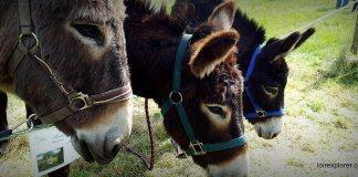 ânes bruns lors de la fête des ânes de Poulaines Indre