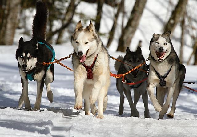 chien husky randonnée photo de neige que faire quand il neige