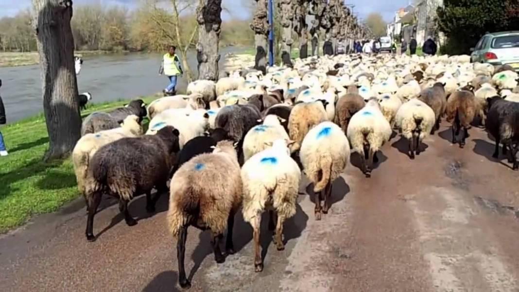 Comment suivre la transhumance des moutons de Sologne