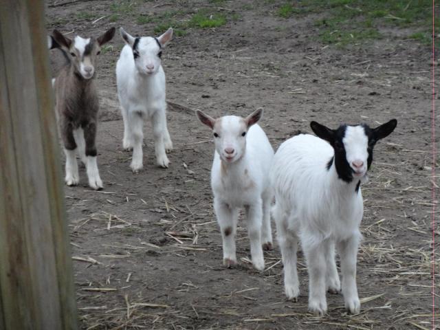 Les mini chèvres de la mini ferme de Fort Ninos à l'Alméria Parc, parc de loisirs équestres familial et insolite en Sologne - crédit photo © Alméria Parc