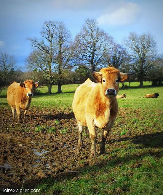Vache de race Aubrac voyage au centre de la France