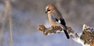 Comment aider les oiseaux l'hiver Geai