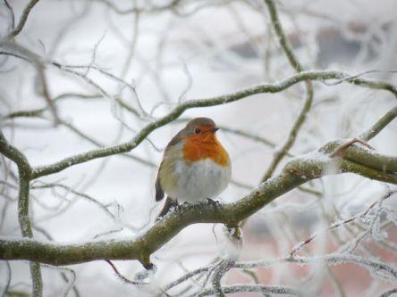 Comment aider les oiseaux en hiver rouge gorge