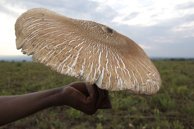 champignon Termitomyces titanicus