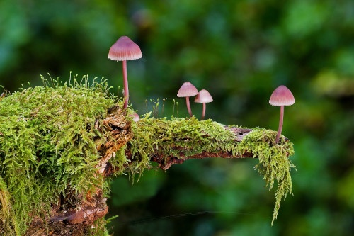 champignon toxique
