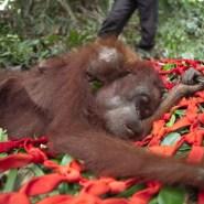 私たちの食べるカレーがオランウータンを殺している!知らなかったでは済まされない、パームオイルと環境破壊。