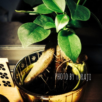 lokahi-20140829-gajumaru (3)