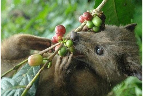 世界一高価なコーヒーに隠されたある動物の悲しい現実