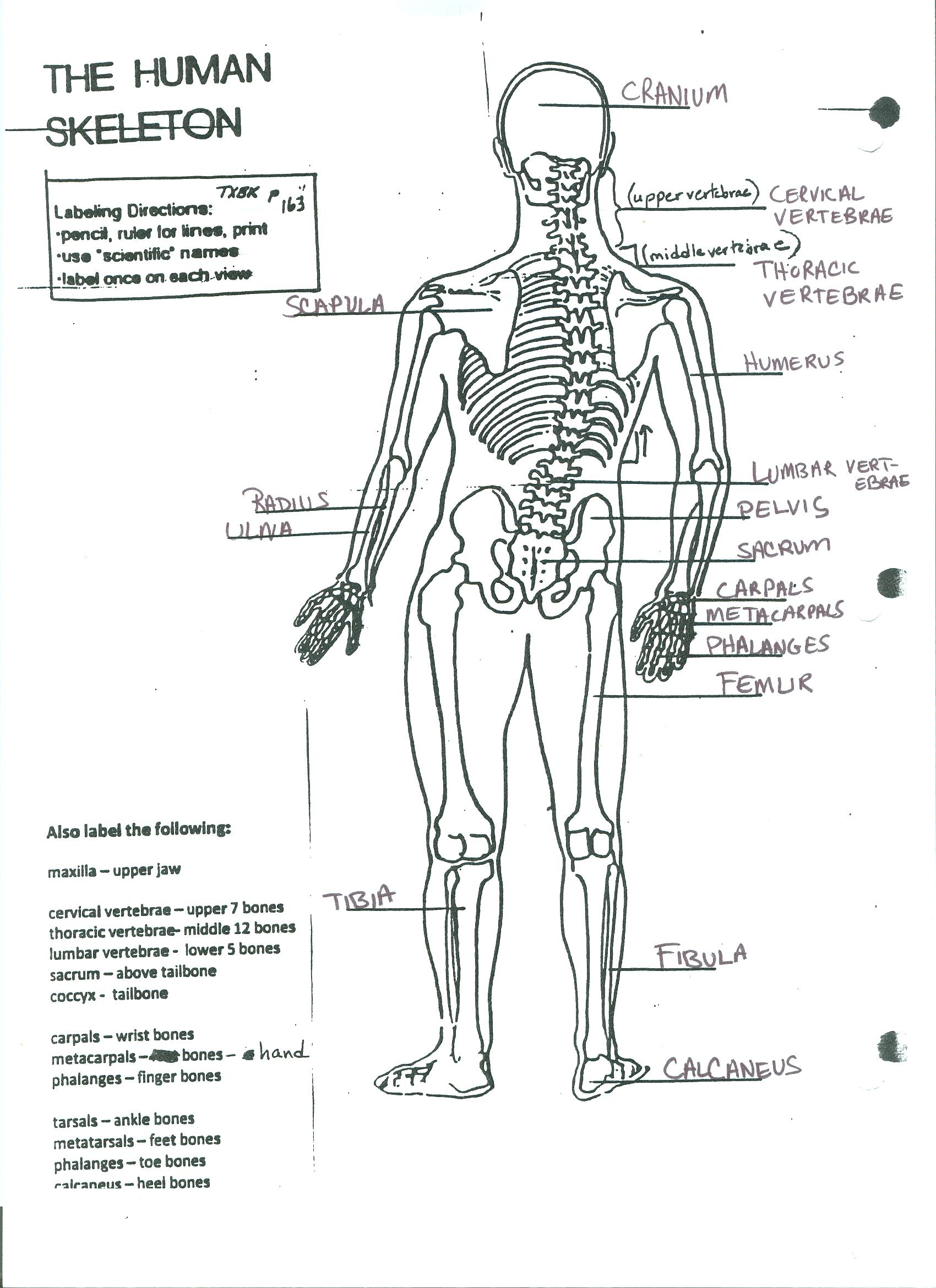 Useful Notes For Medical Students On Skeleton Parts