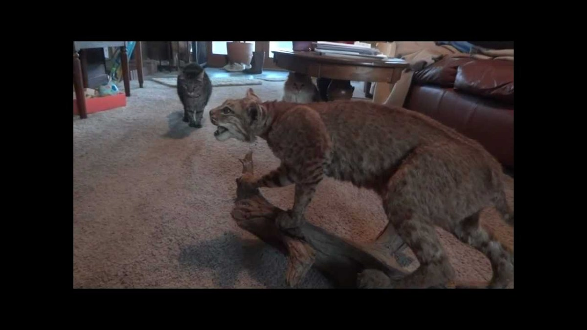 Gatos corajosos enfrentam Lince
