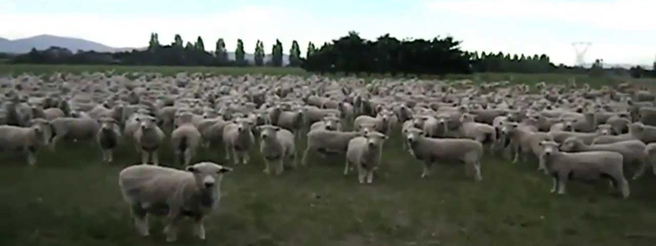 PROTESTO DE UM REBANHO DE OVELHAS NA NOVA ZELÂNDIA
