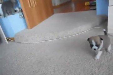 batalha entre um cãozinho e um gatinho mais fofa de todos os tempos