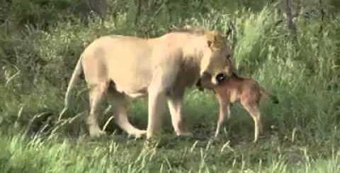 Leoa salva e protege gnu bebé de um ataque de outra leoa