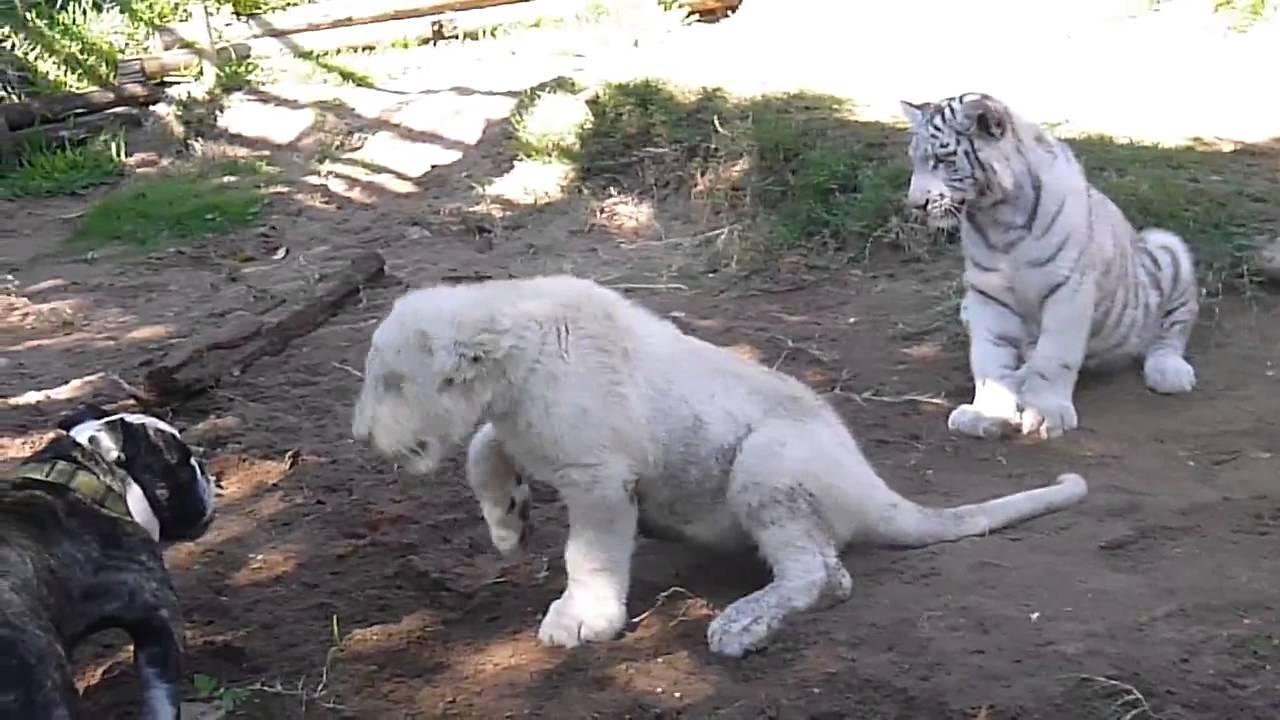 Bulldog ataca leão e tigre
