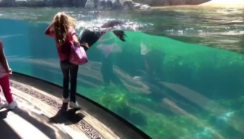 Reação de um leão-marinho à queda de uma criança