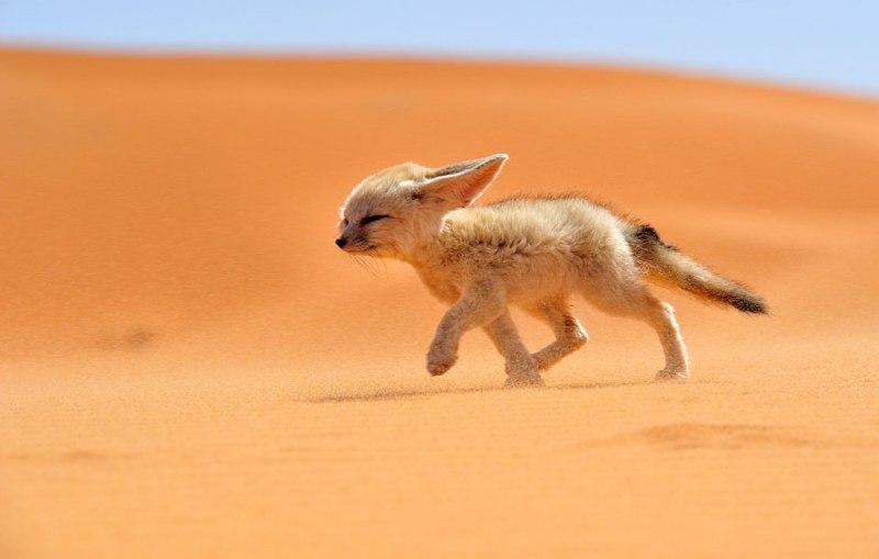 fotos fantásticas de raposas